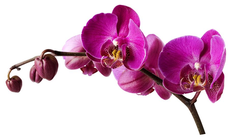 Wandtattoos folies : Wandsticker Orchidee